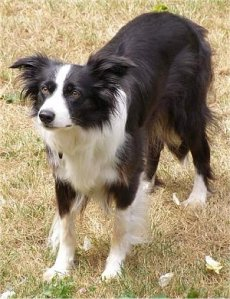 BorderCollieWynne7Years3